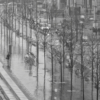 Three rows of young trees lined along a pavement. The ground is shiny with rain and a woman walks along with an umbrella