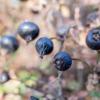 Some large, dark, round berries