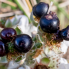 Closeup of some small, dark purple berries with a white flower behind them