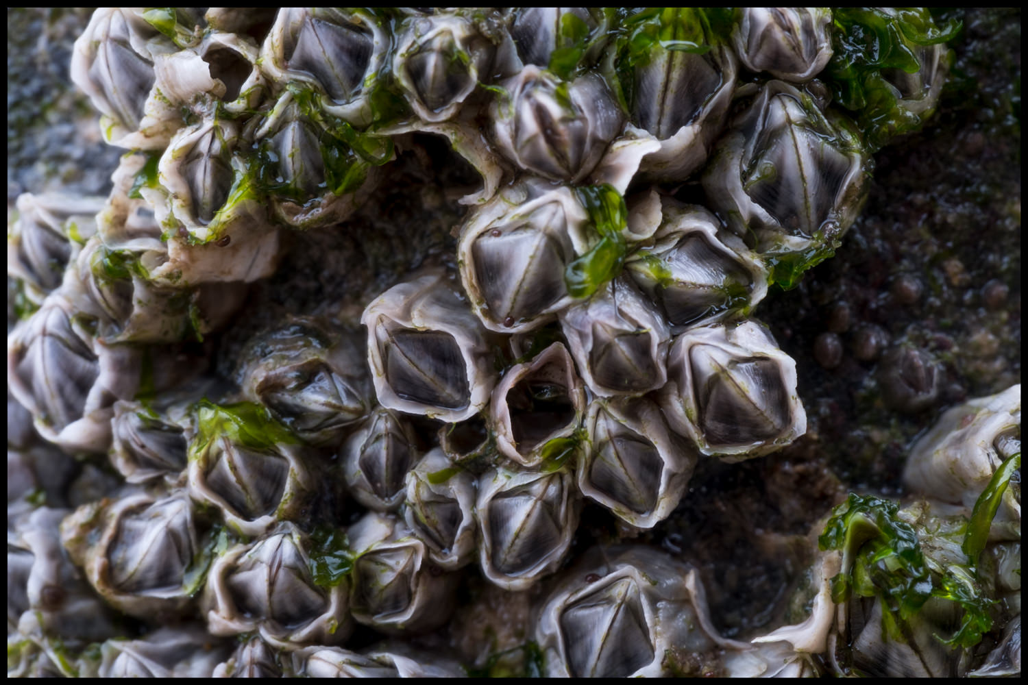 A macro shot of some of the barnacles, showing them in great detail