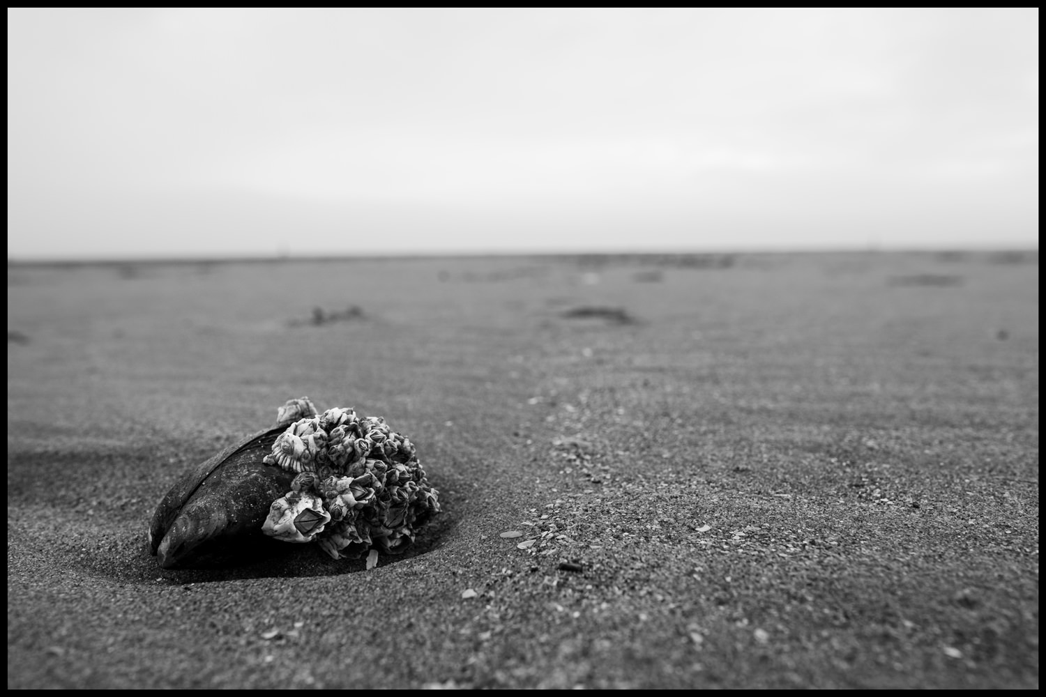 A closeup of a mussel on the sand. The mussel is covered in barnacles