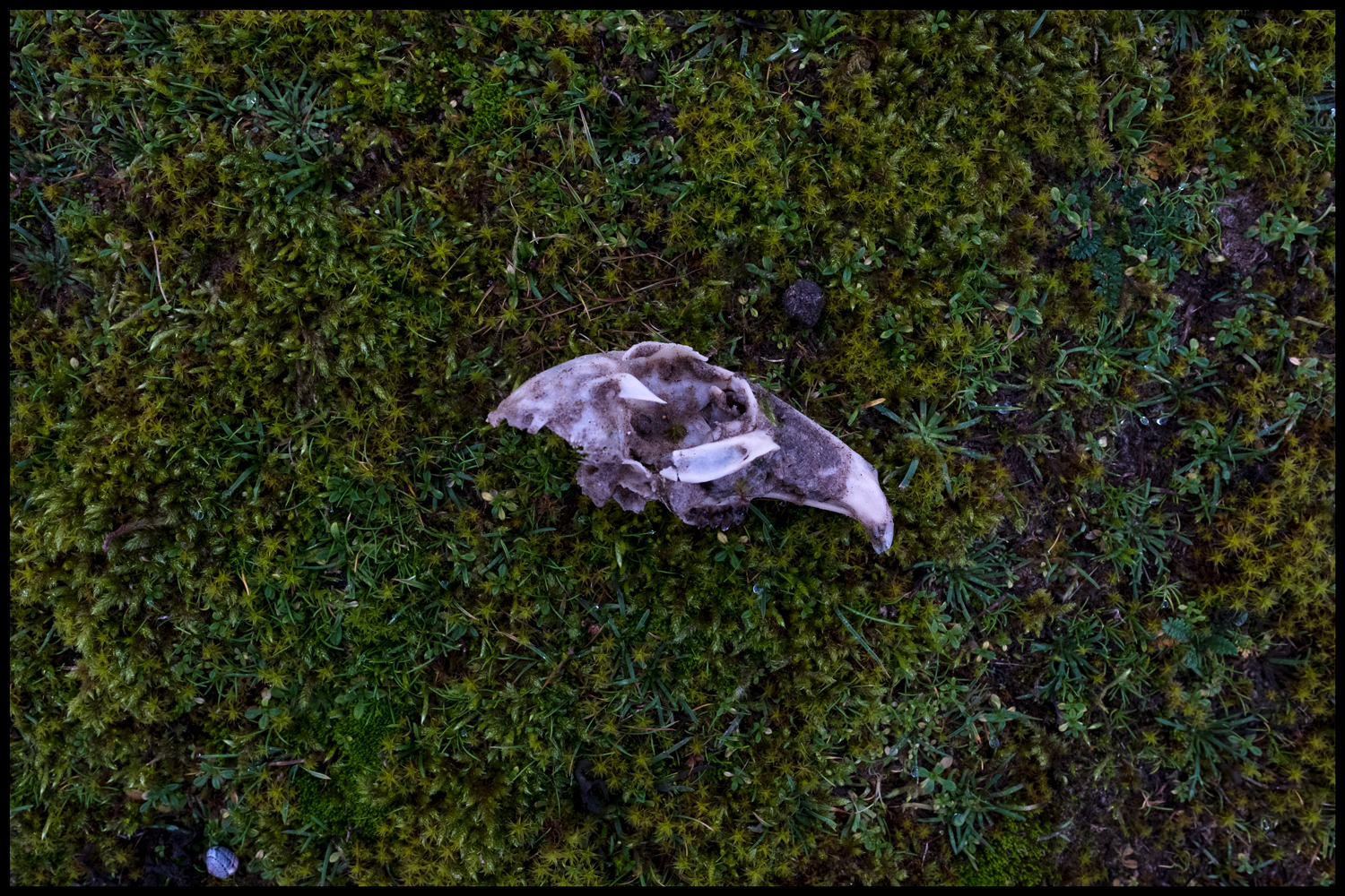 The skull of a bird, possibly a crow, on a bed of moss and grass