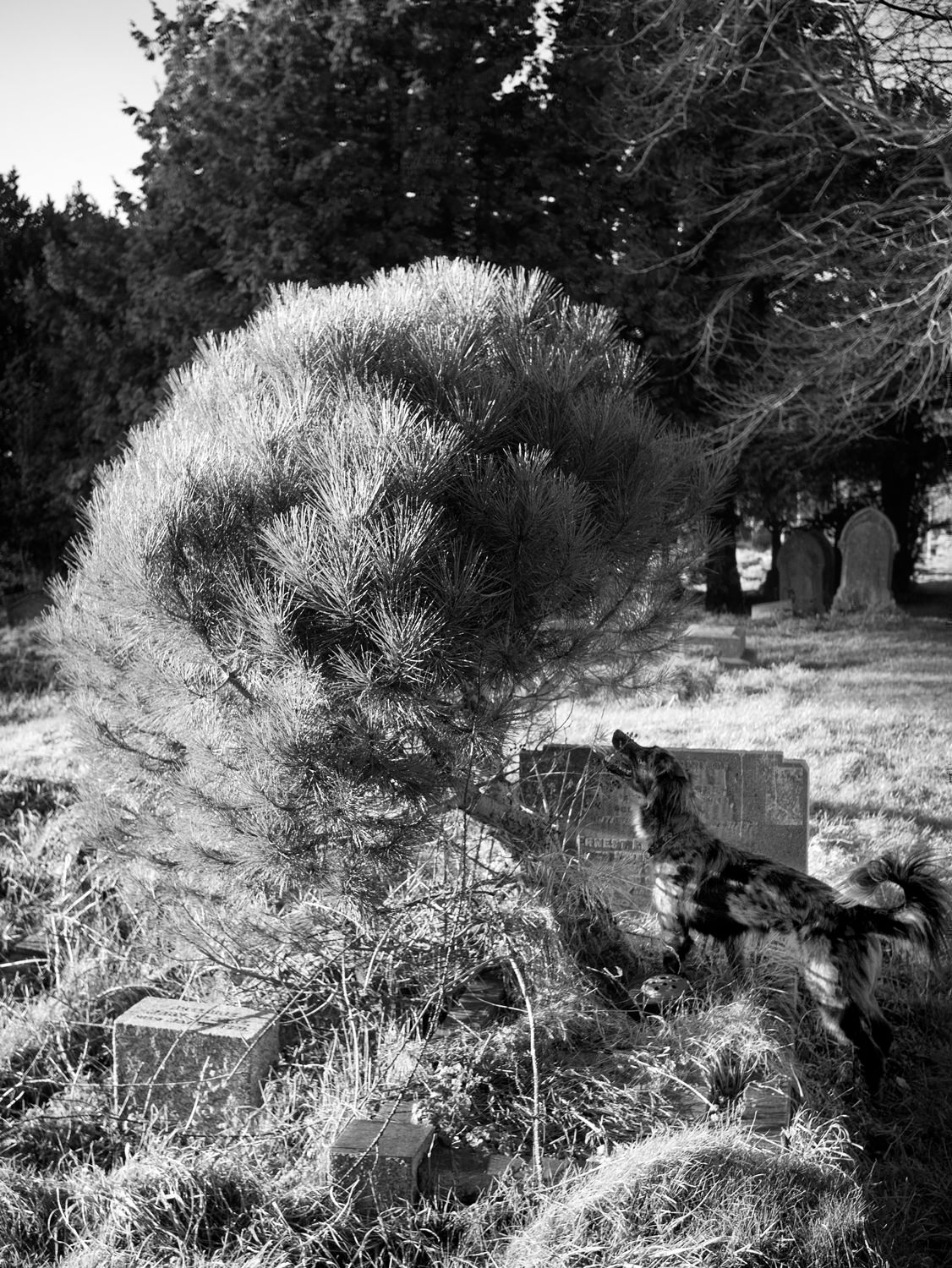 A dog is standing and staring intently into a small tree that's growing out of a grave