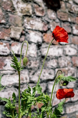 Red poppies by a brick wall