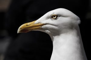 the head and neck of a seagull in profile