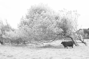 a black sheep by a tree